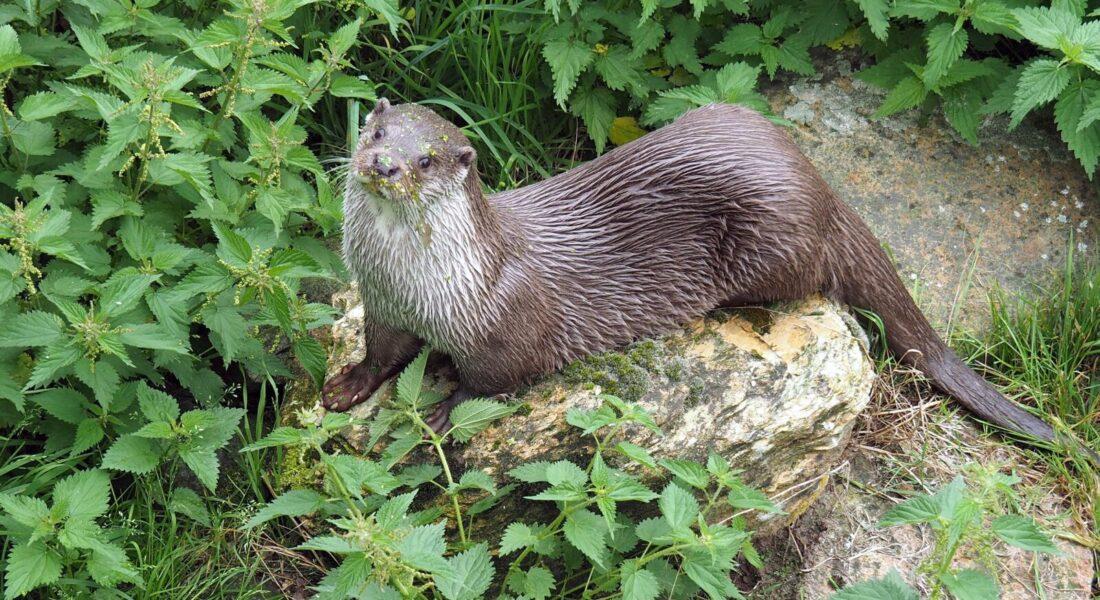 otter-on-rock-beside-nettles
