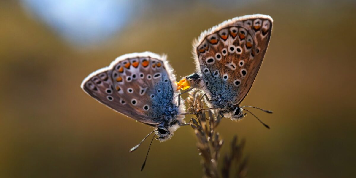 Pair of Common Blue Butterfly