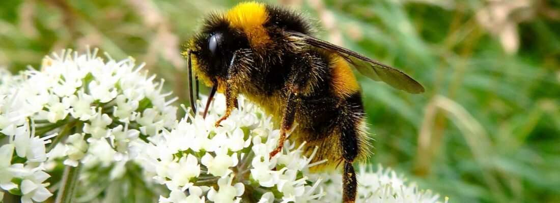 Bumblebee-on-white-flower
